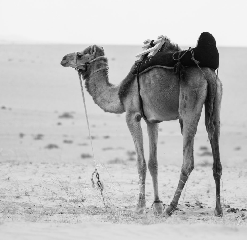 animal-animal-photography-arabian-camel-839265