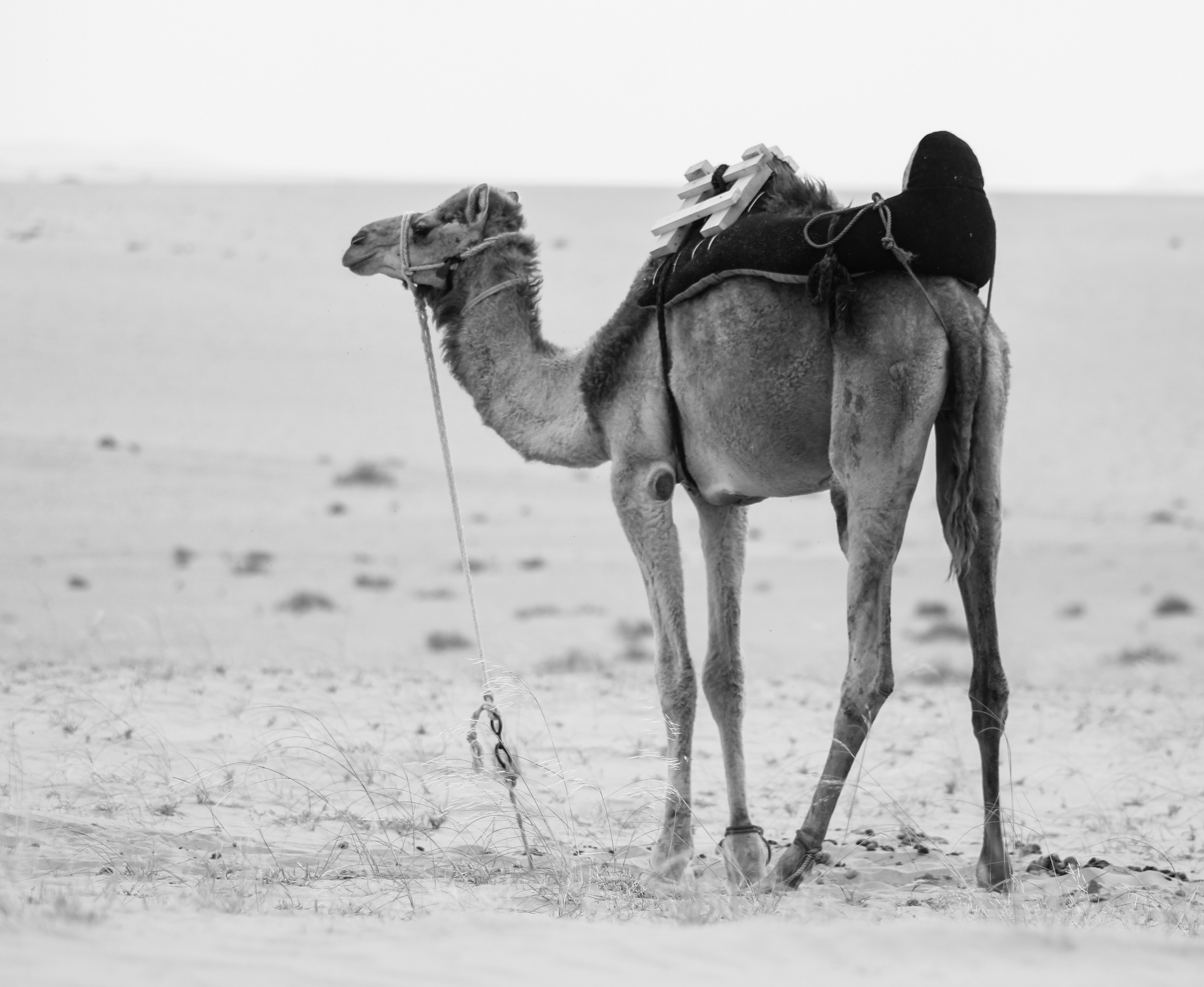 animal-animal-photography-arabian-camel-839265
